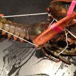 homard ficelle 1